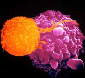 клетка Лангерганса